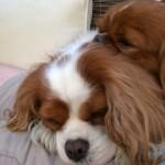 Stella sleeping and snoring on top of Artemis, happy both!